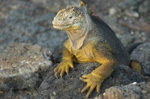 Iguana in Manta, Ecuador
